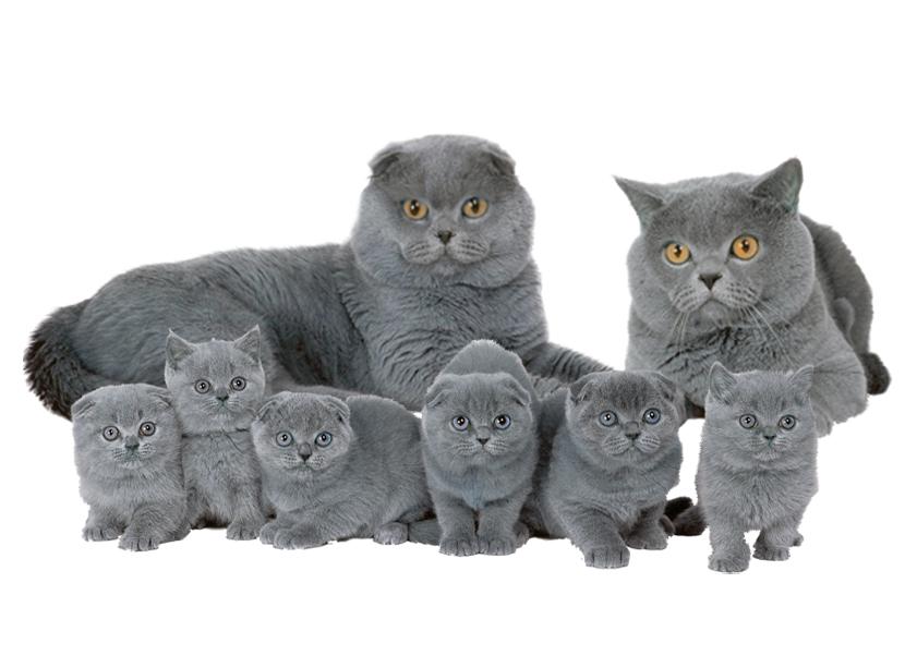 Шотландская голубая прямоухая кошка